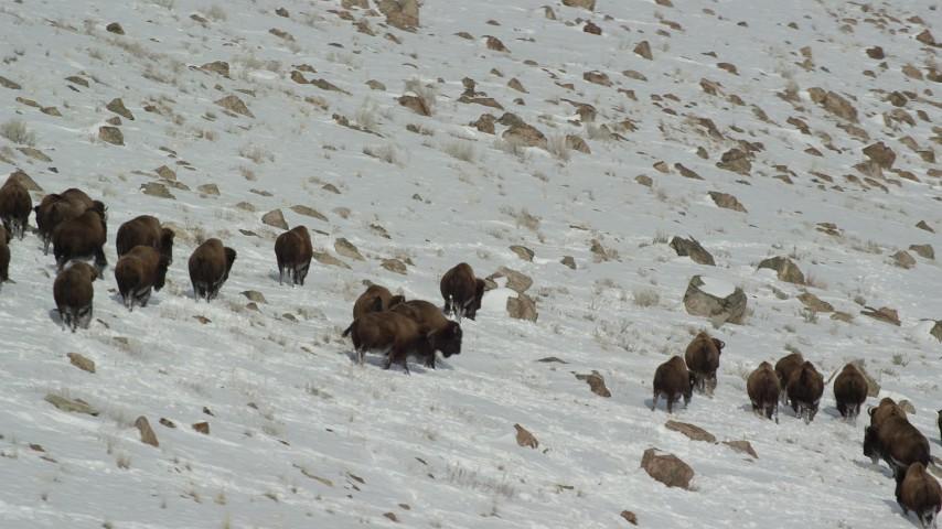 6K stock footage aerial video orbit bison herd moving through snow on Antelope Island, Utah Aerial Stock Footage | AX125_061