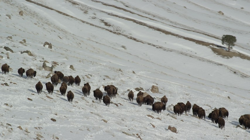 6K stock footage aerial video of circling bison in the snow on Antelope Island, Utah Aerial Stock Footage | AX125_062