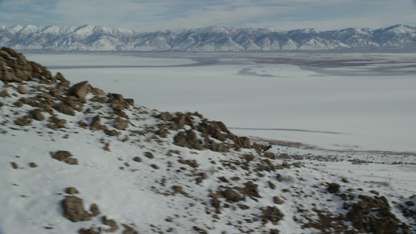 6K stock footage aerial video track a bighorn sheep racing down a rocky slope with winter snow, Antelope Island, Utah Aerial Stock Footage | AX125_069