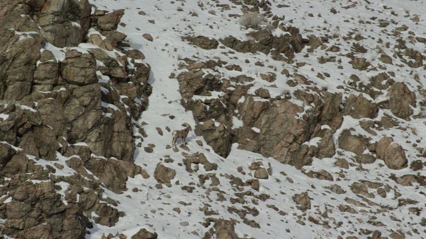 6K stock footage aerial video orbit a bighorn sheep standing on a snowy slope on Antelope Island, Utah Aerial Stock Footage | AX125_070