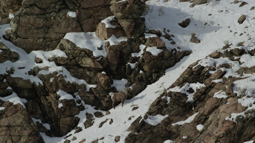 6K stock footage aerial video circle lone bighorn sheep on a snowy mountain slope on Antelope Island, Utah Aerial Stock Footage | AX125_071