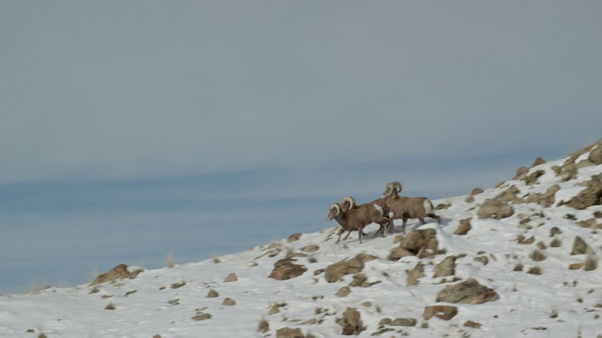 6K stock footage aerial video of tracking bighorn sheep running across a snowy mountain on Antelope Island, Utah Aerial Stock Footage | AX125_072