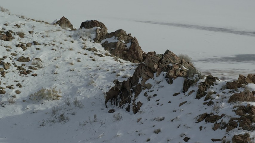 6K stock footage aerial video of circling bighorn sheep by large boulders on a snowy mountain, Antelope Island, Utah Aerial Stock Footage | AX125_074