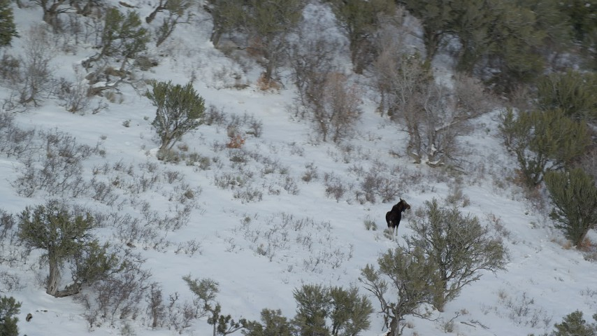 6K stock footage aerial video orbit a lone moose walking through the winter snow, Wasatch Range, Utah Aerial Stock Footage | AX126_190