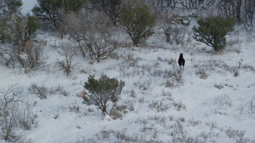 6K stock footage aerial video of orbiting a lone moose trotting through winter snow, Wasatch Range, Utah Aerial Stock Footage | AX126_191