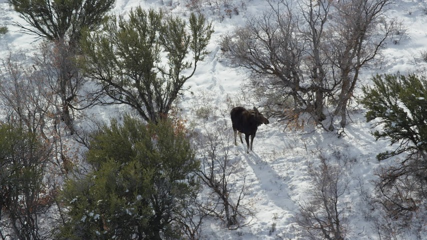 Slow Orbit of a Moose Standing in Winter Snow Aerial Stock Footage | AX126_193