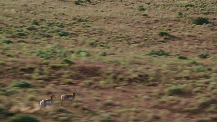Tracking Pronghorn Running through the Desert near Moab, Utah Aerial Stock Footage AX138_218