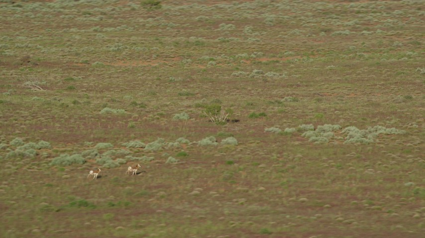6K stock footage aerial video of tracking a couple of pronghorn in the desert near Moab, Utah Aerial Stock Footage | AX138_220