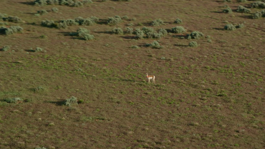6K stock footage aerial video track a pronghorn racing away near Moab, Utah Aerial Stock Footage | AX138_224