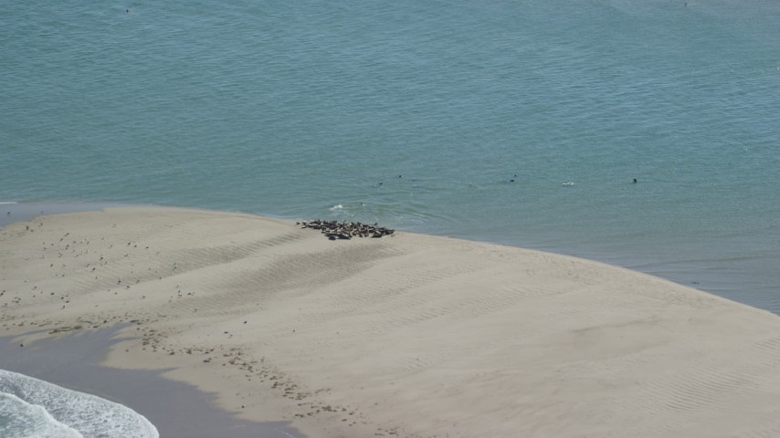 Flying by seals on a beach, Cape Cod, Eastham, Massachusetts Aerial Stock Footage AX144_034