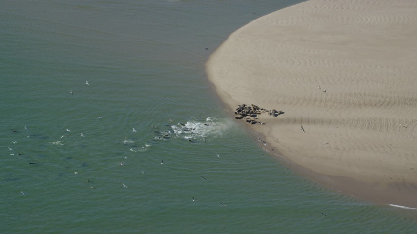 Flying away from seals on sand bar, low tide, Cape Cod, Eastham, Massachusetts Aerial Stock Footage | AX144_035