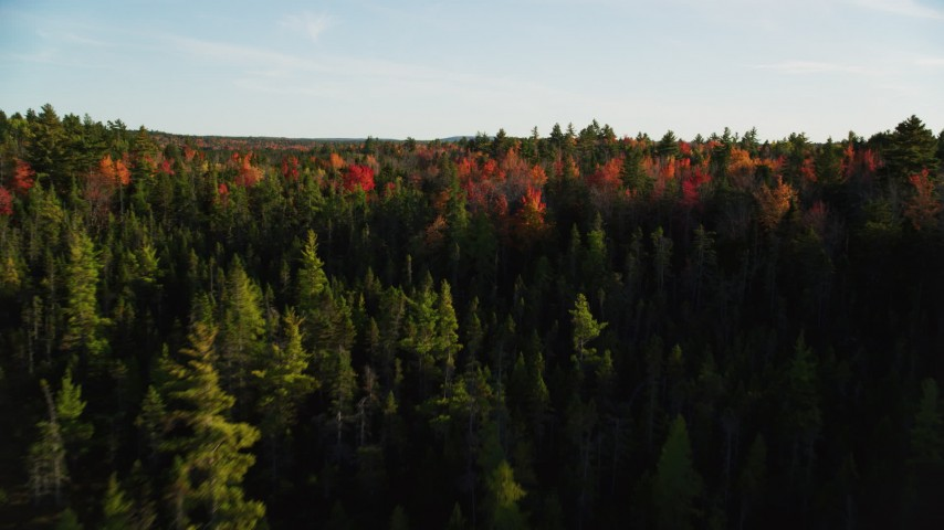 6K stock footage aerial video flying over young trees toward colorful forest, autumn, Blue Hill, Maine Aerial Stock Footage | AX149_049