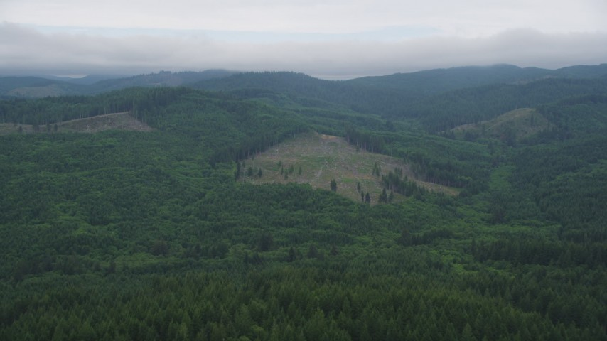 5K stock footage aerial video fly over evergreens to approach a large logging area in Clatsop County, Oregon Aerial Stock Footage | AX56_040