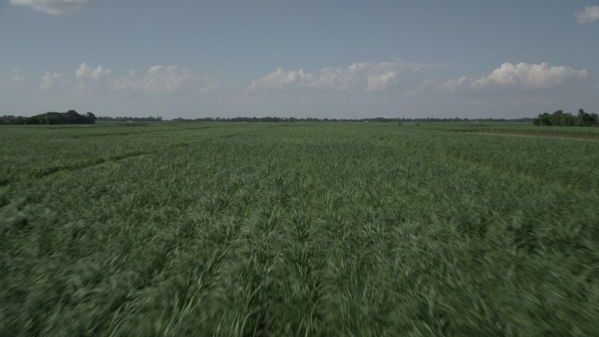 5K stock footage aerial video of flying low over fields of sugar cane in Vacherie, Louisiana Aerial Stock Footage | AX60_056