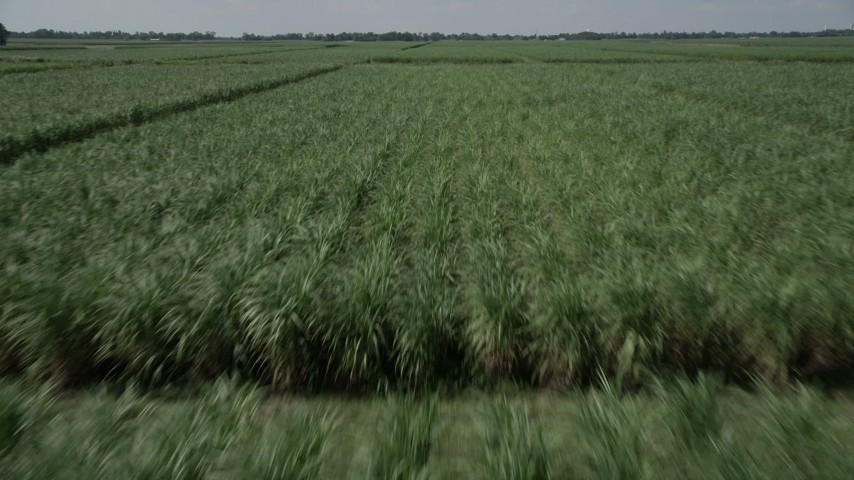 5K stock footage aerial video of flying low over fields full of sugar cane in Vacherie, Lousiana Aerial Stock Footage | AX60_057