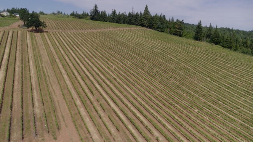 6K drone aerial of passing over long rows of grapevines, Hood River, Oregon Aerial Stock Footage | DX0001_000386