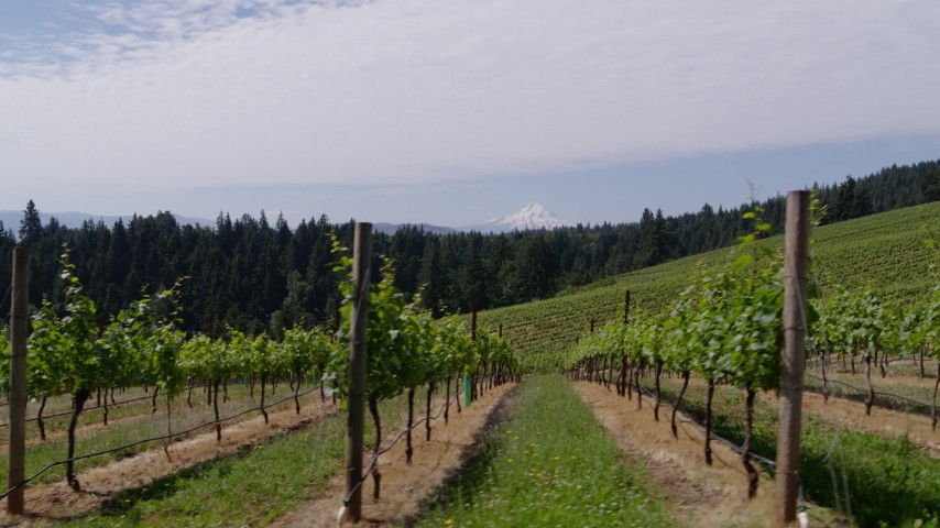 5.7K stock footage aerial video fly low past rows of grapevines with a view of Mount Hood, Hood River, Oregon Aerial Stock Footage | DX0001_000395