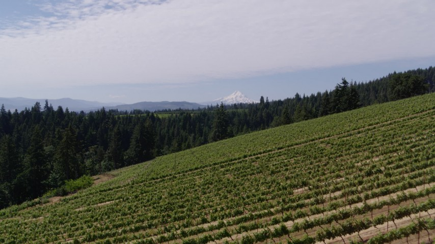5.7K aerial video low altitude fly over of vineyard on hillside with view of Mt Hood, Hood River, Oregon Aerial Stock Footage | DX0001_000397