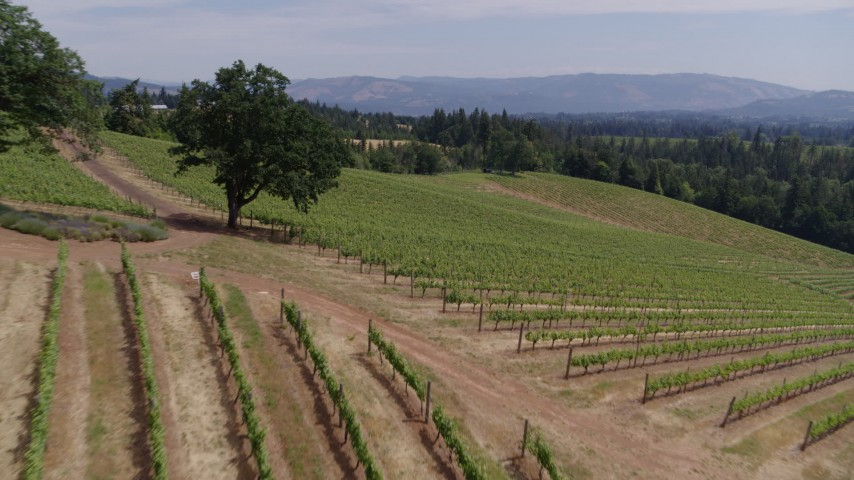 5.7K aerial video of flying over hillside grapevines at Phelps Creek Vineyards in Hood River, Oregon Aerial Stock Footage | DX0001_000422