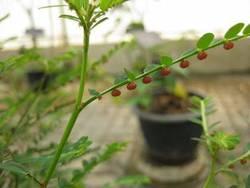 Bhumyamlaki's Raw Herb