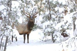 Elk-Bull-3-1.jpg