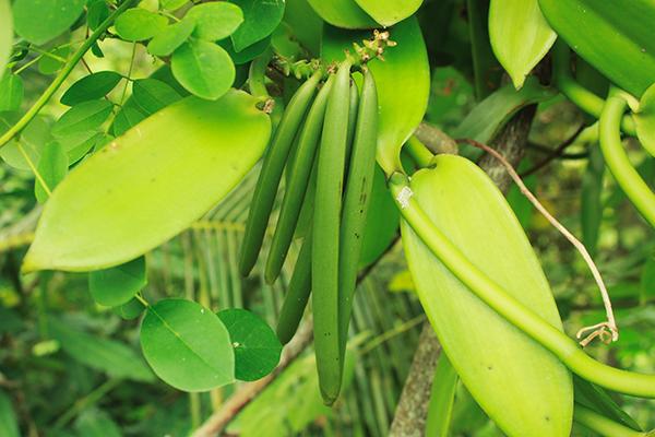 Vanilla beans on plant