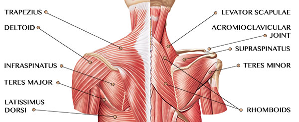 shoulder muscles anatomy