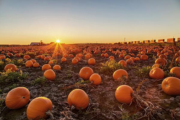 Pumpkin field at sunset