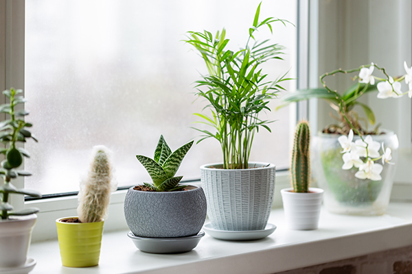 Houseplants in pots on windowsill.