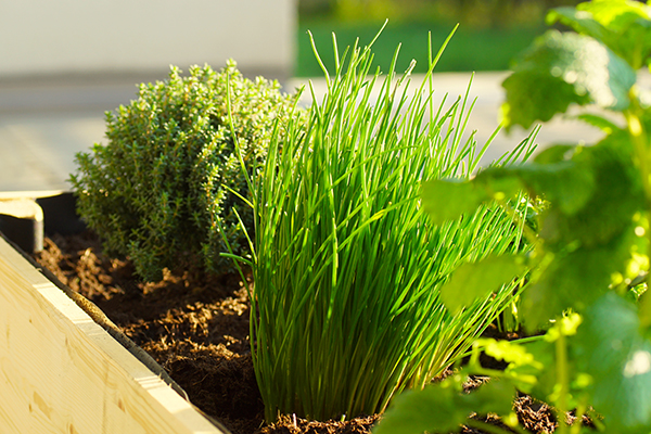 Different herbs growing in raised bed