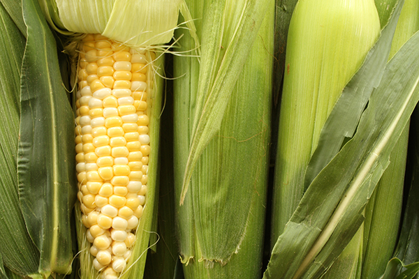 Raw corn in husks, with one peeled back.