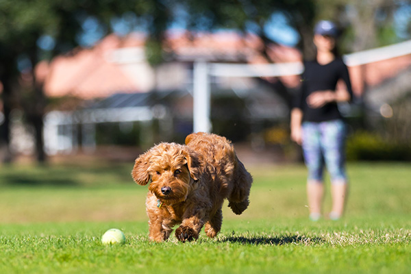 Small goldendoodle chasing a ball outside