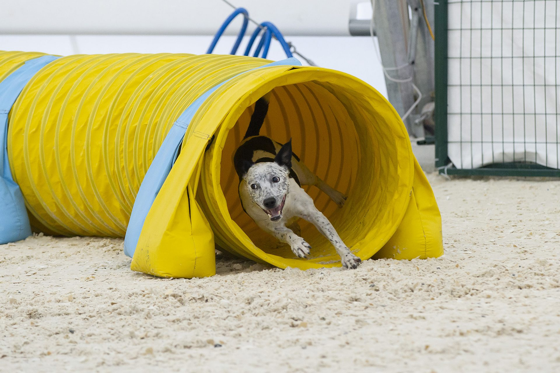 border collie staffordshire terrier in tunnel in dog agility