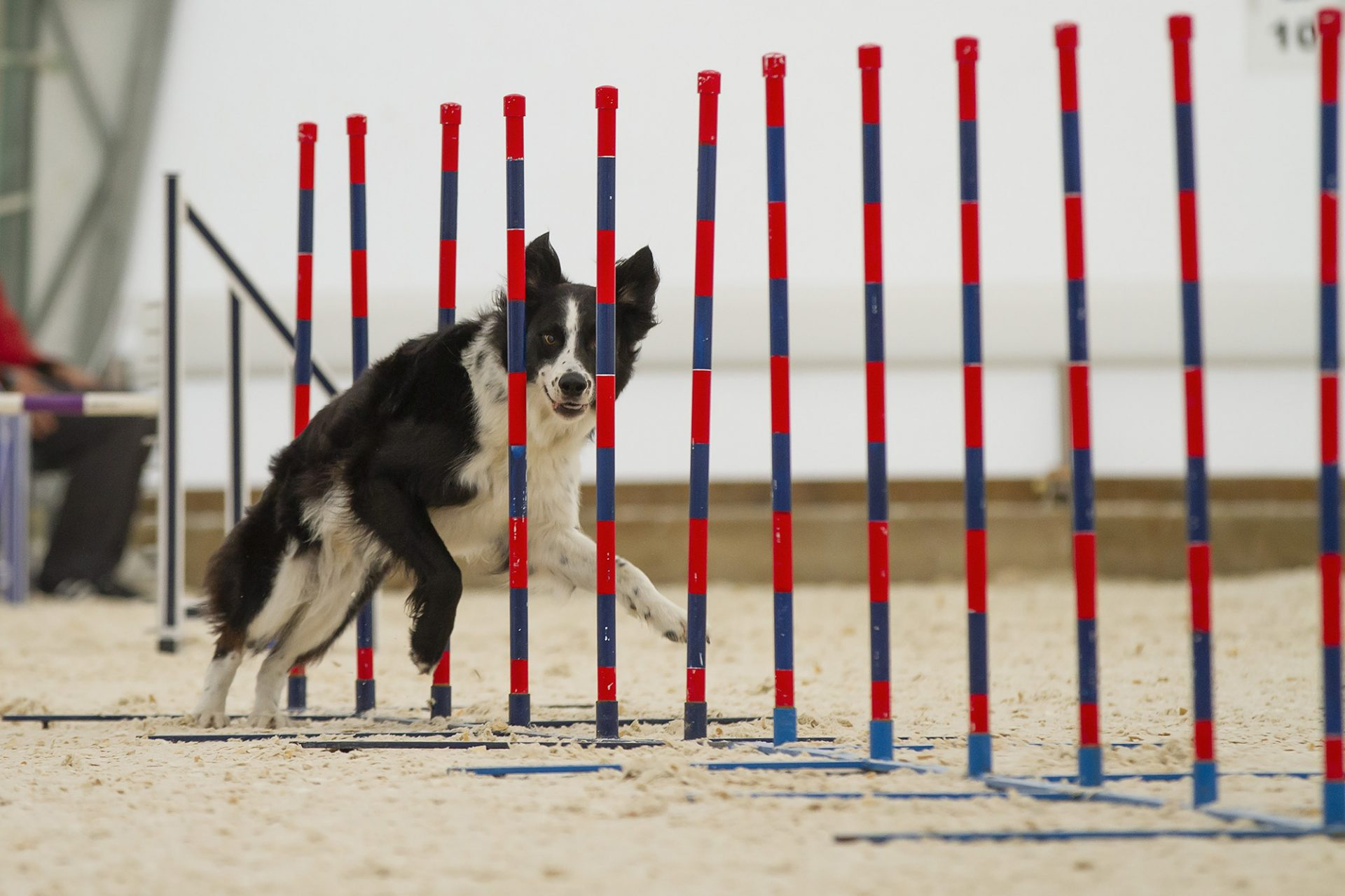 border collie in weave poles in dog agility