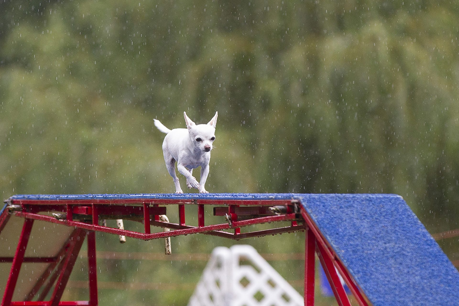 tiny chihuahua in pouring rain on dogwalk in dog agility