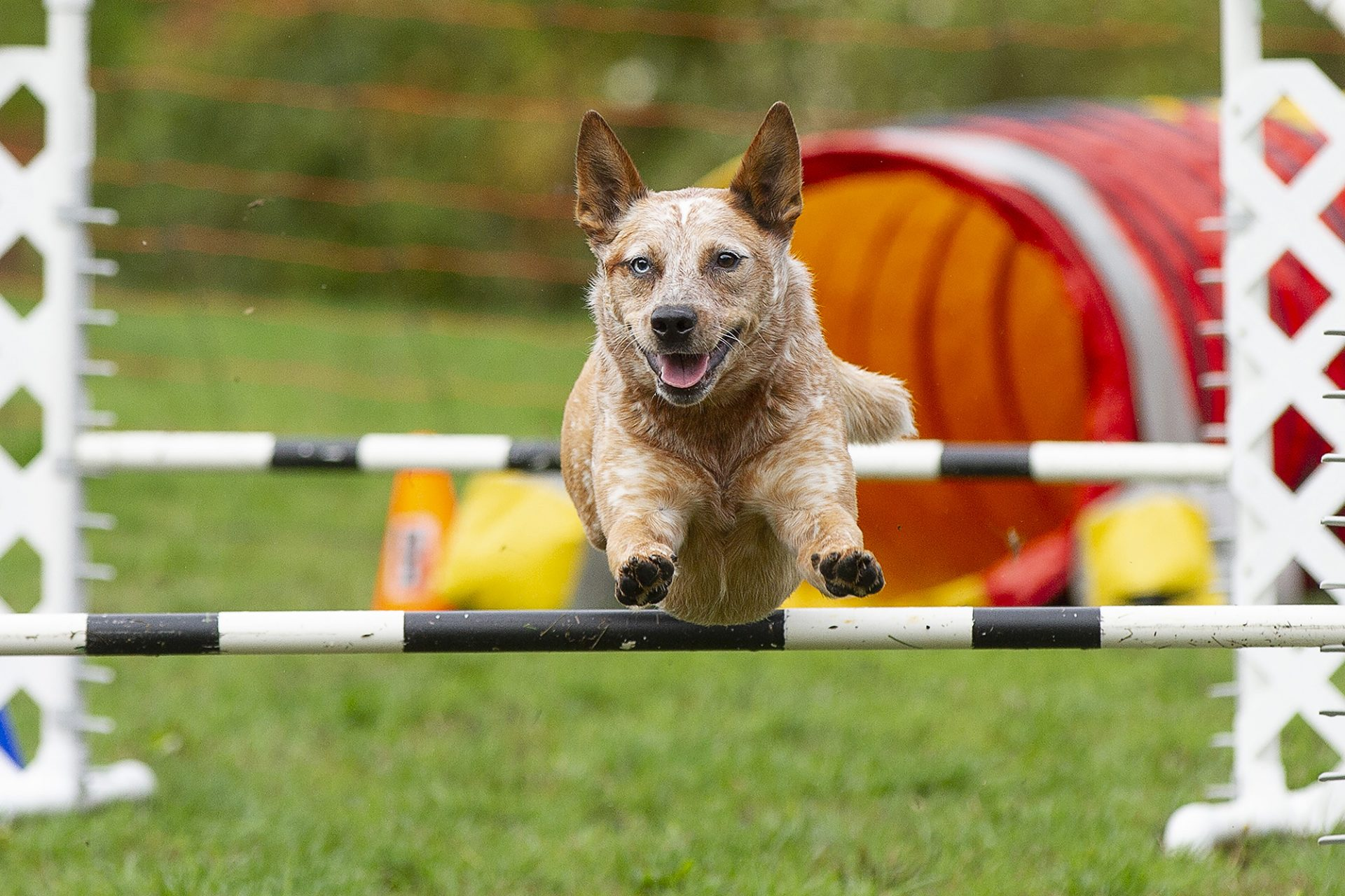 australian cattle dog over jump in dog agility