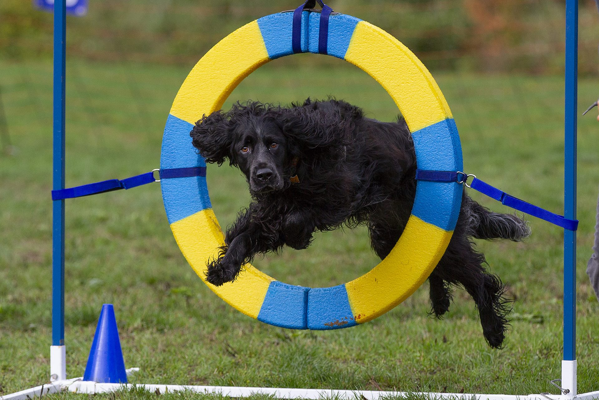 Picardy spaniel through tire jump in dog agility