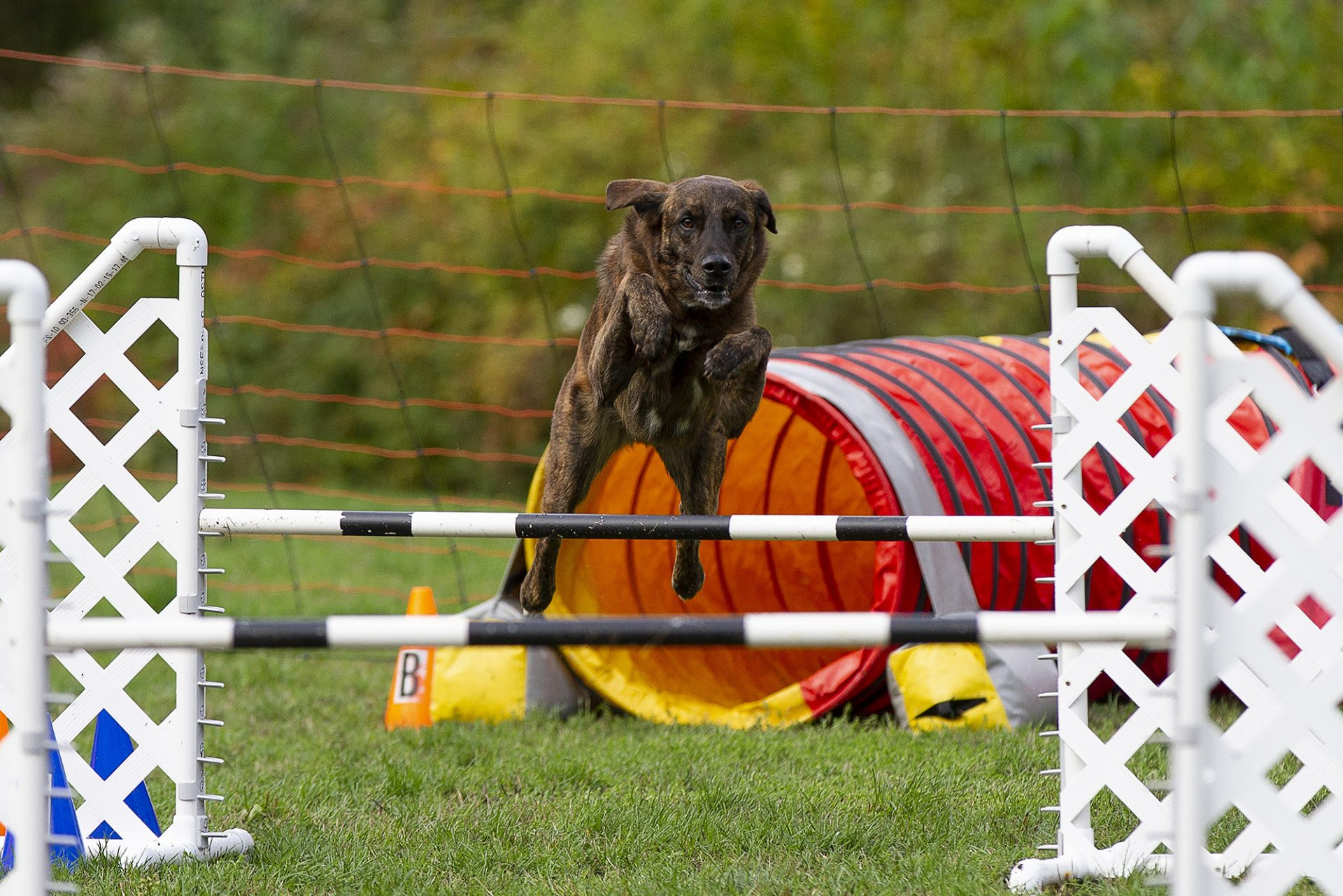 mixed breed dog over jump in dog agility