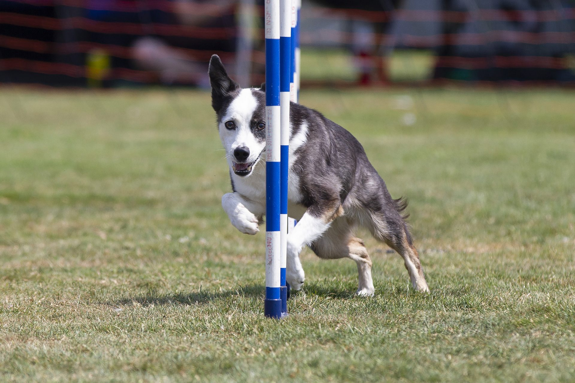 mixed breed dog in weave poles in dog agility