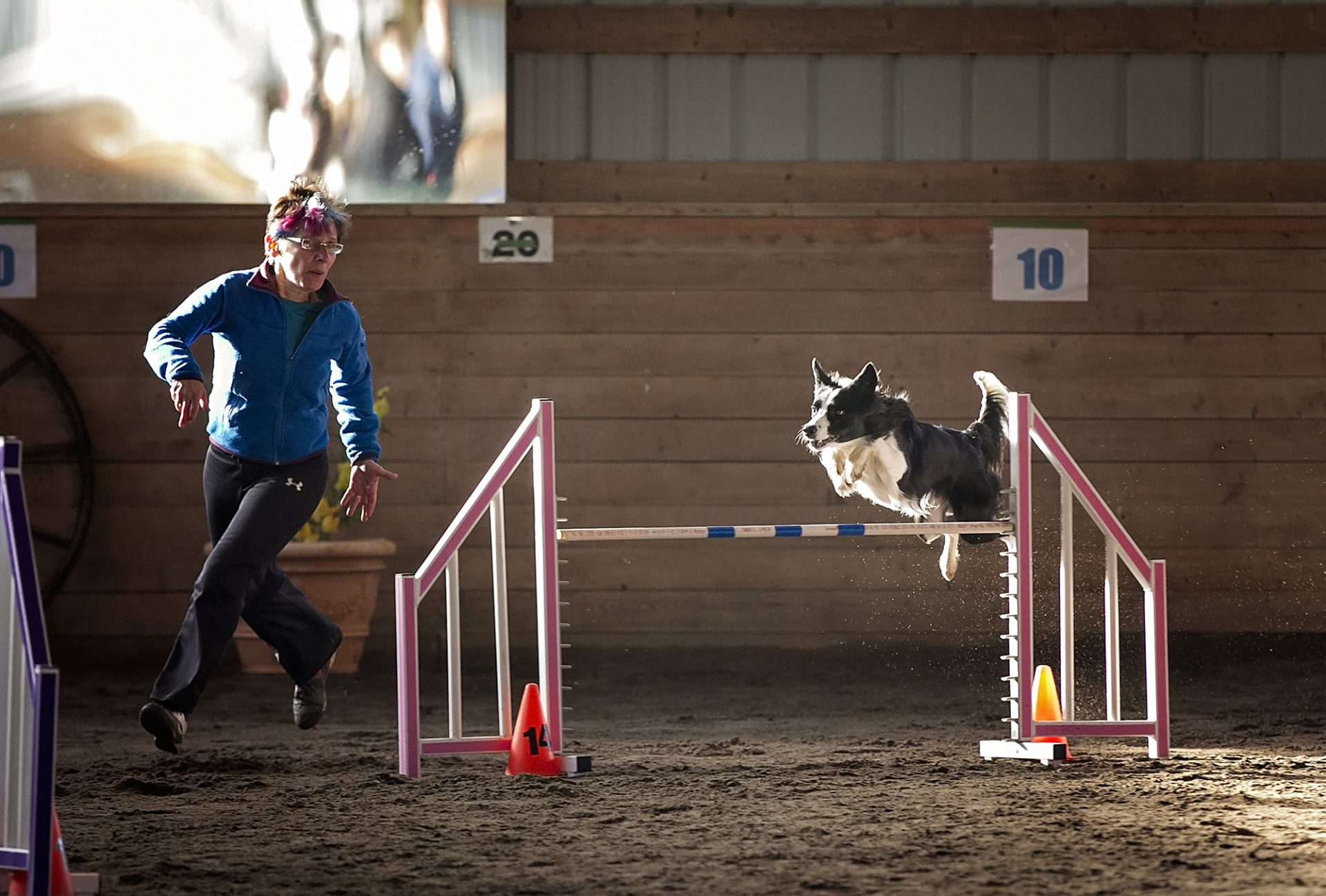 border collie over jump in dog agility