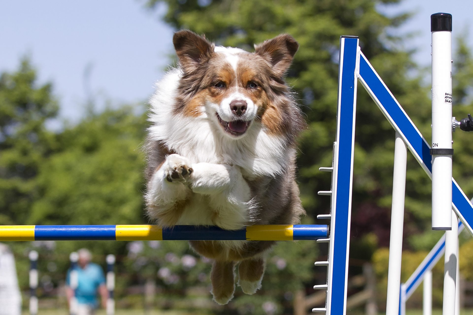 australian shepherd dog over jump in dog agility