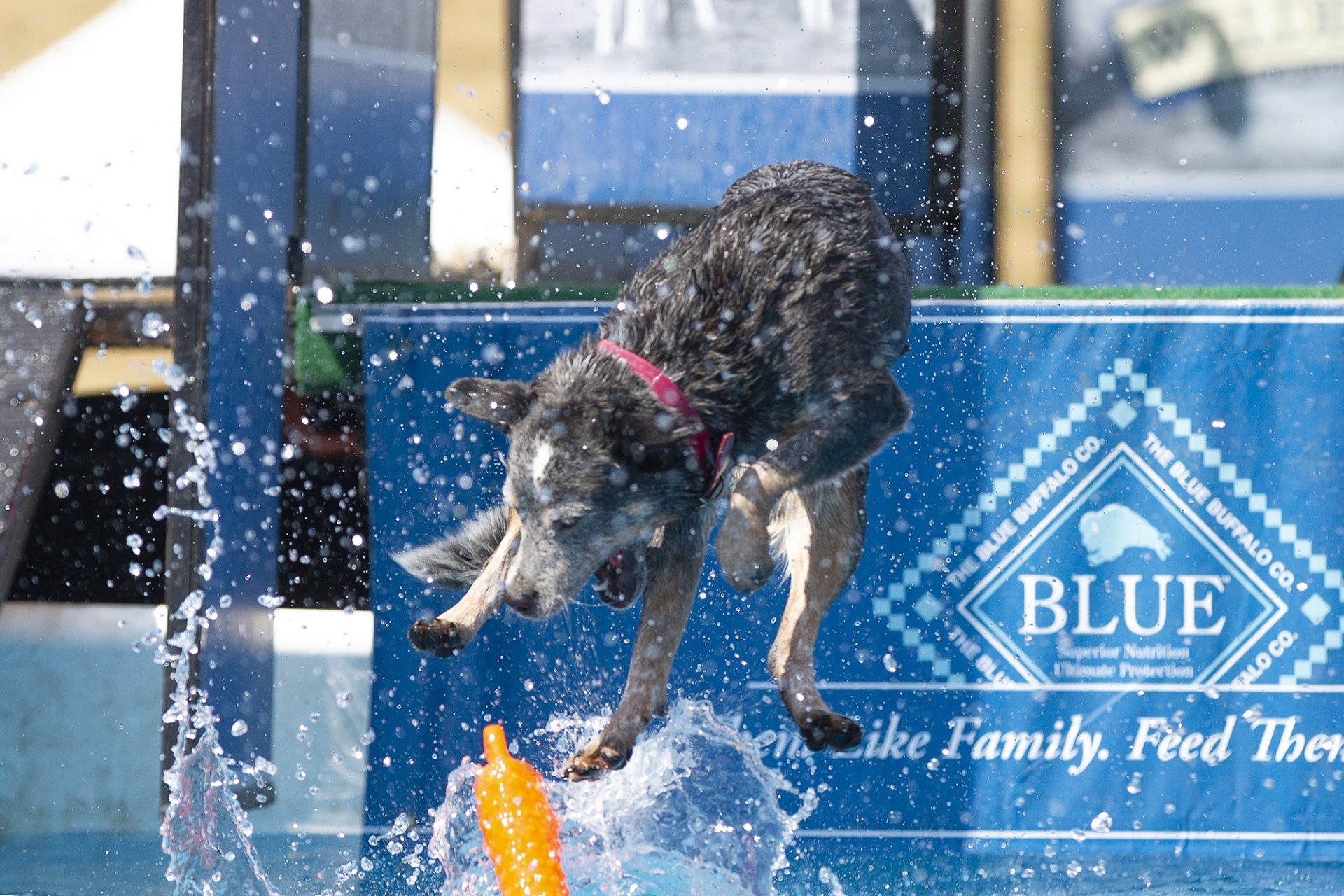 australian cattle dog at dock diving
