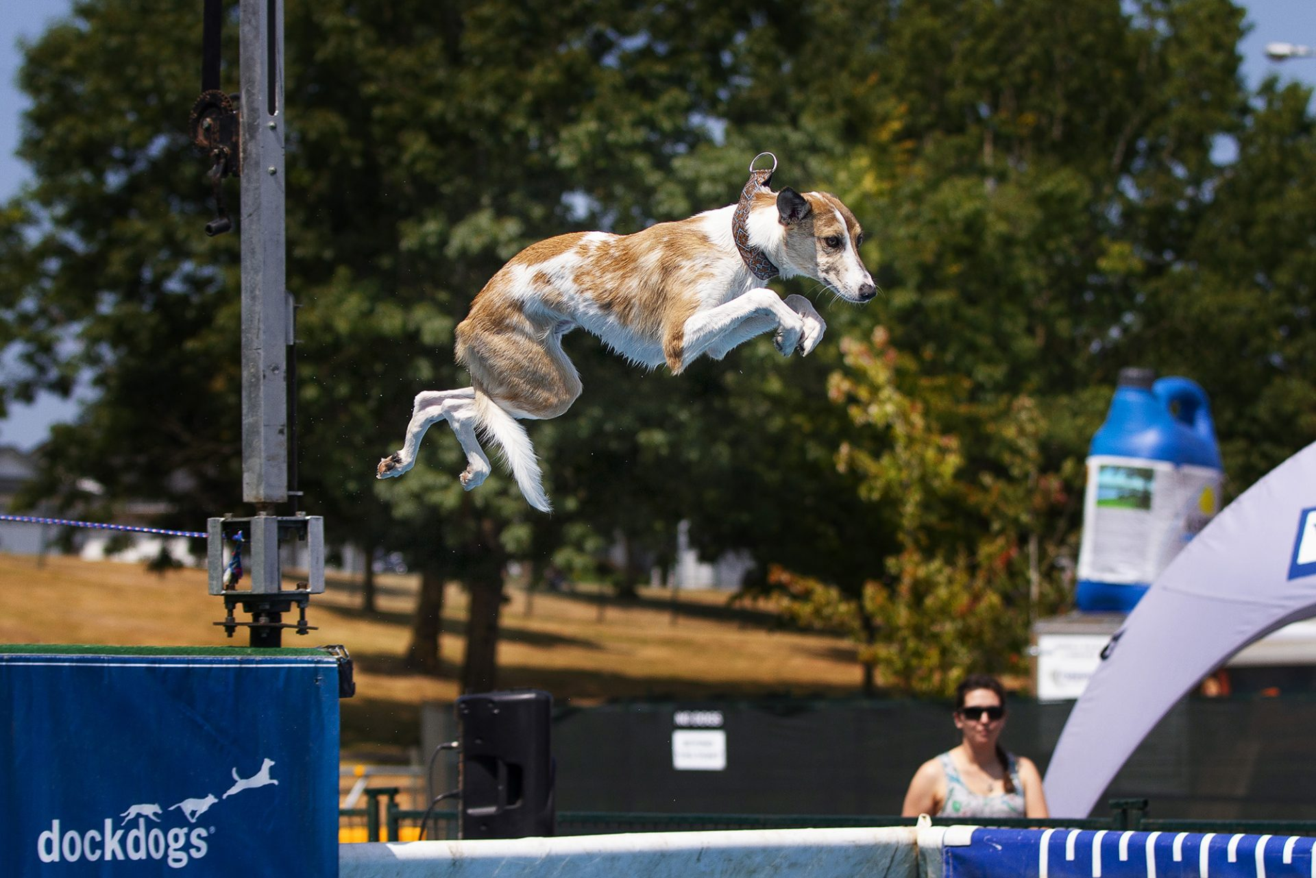 border collie whippet mix dog at dock diving