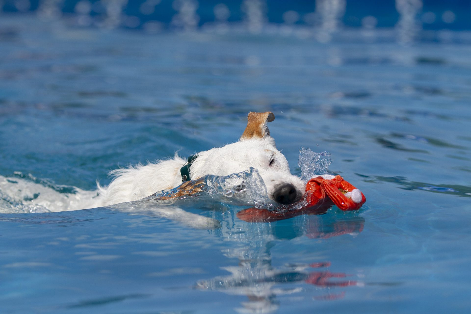 Jack Russel Terrier at dock diving