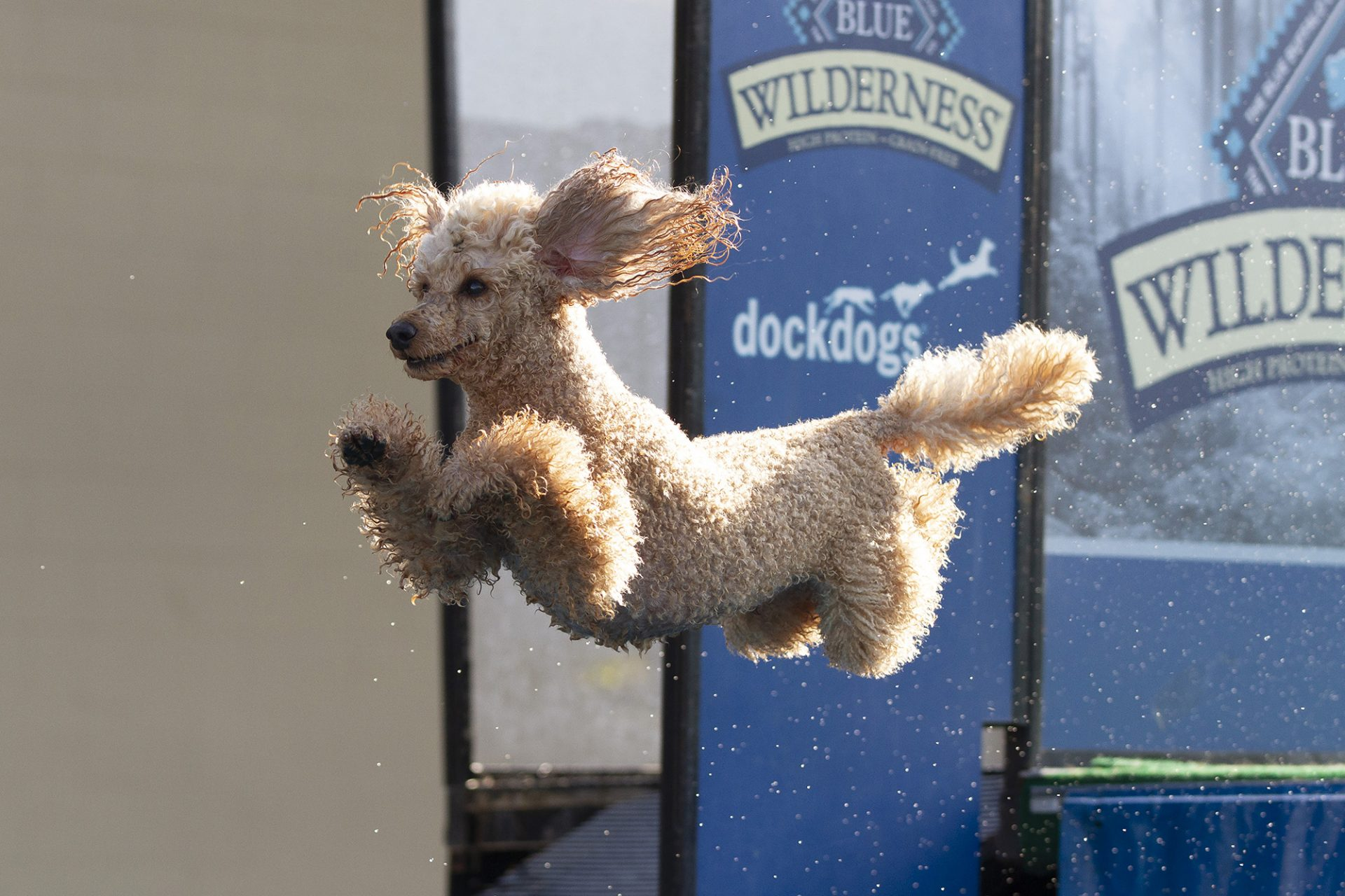 Moyen poodle at dock diving