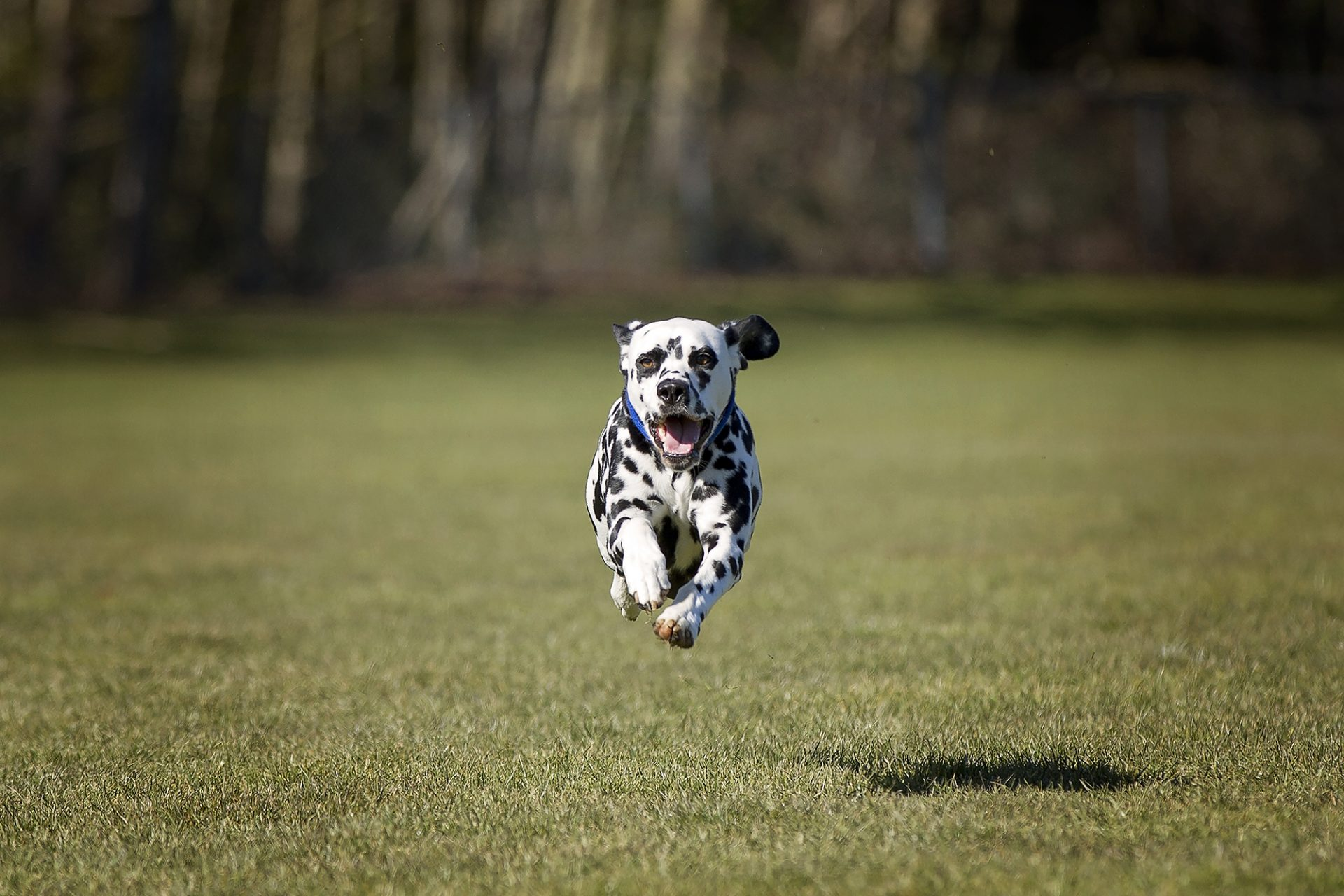 Dalmatian in mid air while lurecoursing