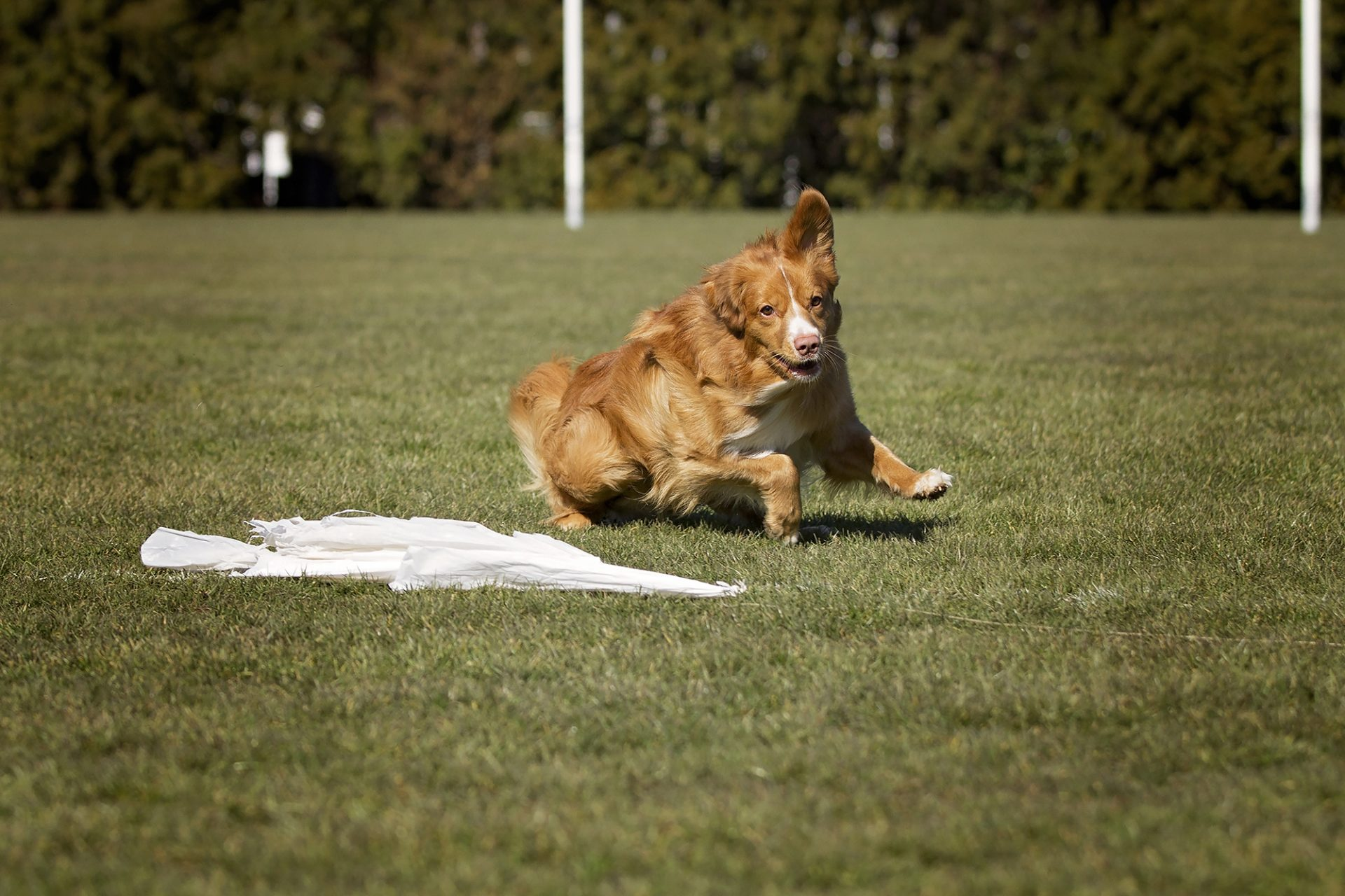 Nova Soctia Duck Tolling Retriever chasing bag while lurecoursing