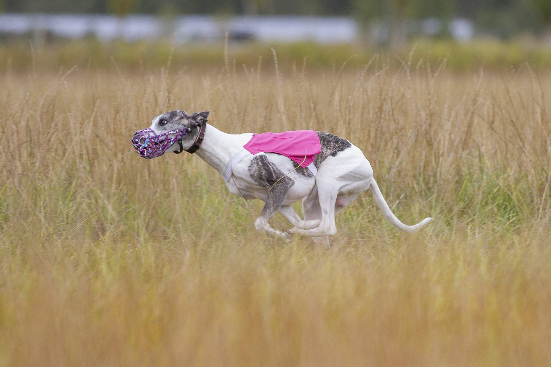 whippet in muzzle running while lurecoursing