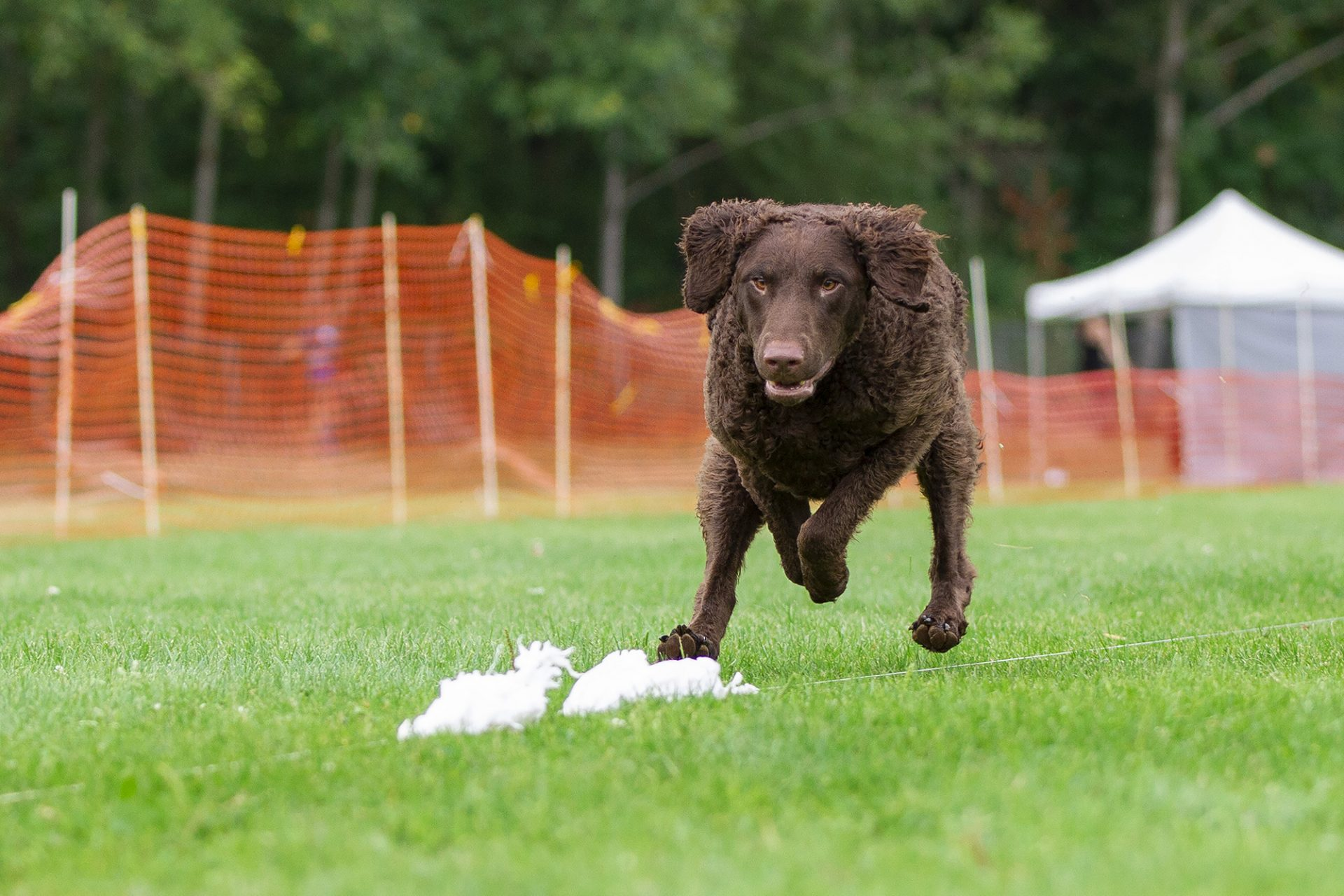 Curly coated retriever running while lurecoursing