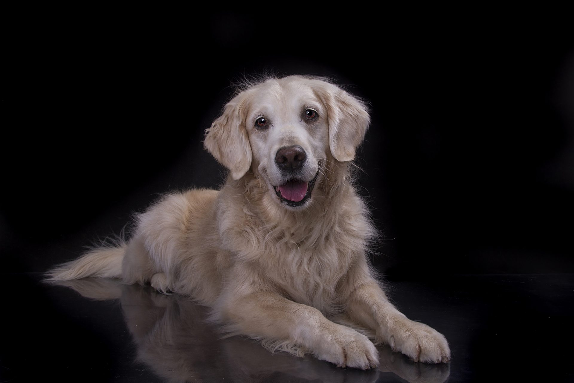 golden retriever dog in studio